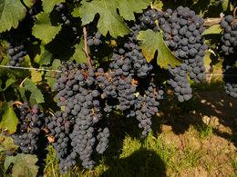 色の濃いワインができるボルドーのぶどう