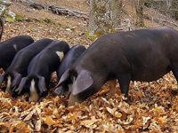 「フランス・コルシカ島」の銘柄豚