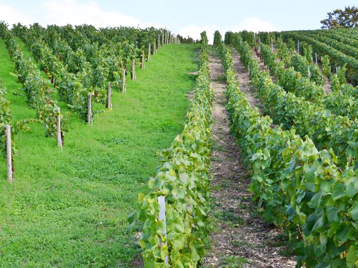 オーガニックの畑と化学農業の畑の比較