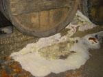 床に生えた天然酵母