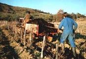 畑は馬と手押し車で耕します